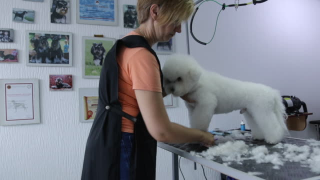 professional groomer doing haircut for bichon frise dog at pet grooming salon - bichon frise stock videos and b-roll footage