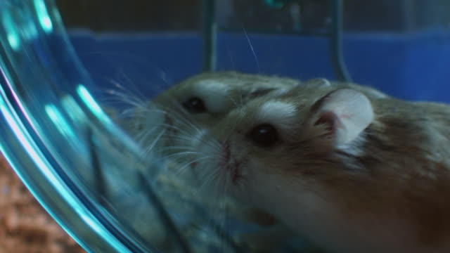 slomo profile cu 2 pet dwarf hamsters running and racing in wheel in cage very close to camera - struggle stock videos and b-roll footage