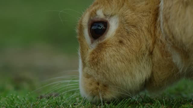 Profile CU feral domestic rabbit eating grass close to camera TU to ears