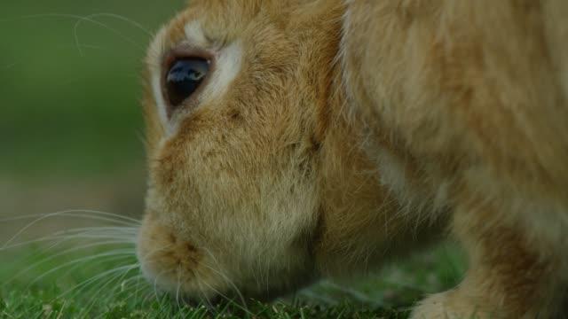 Profile CU feral domestic rabbit eating grass close to camera