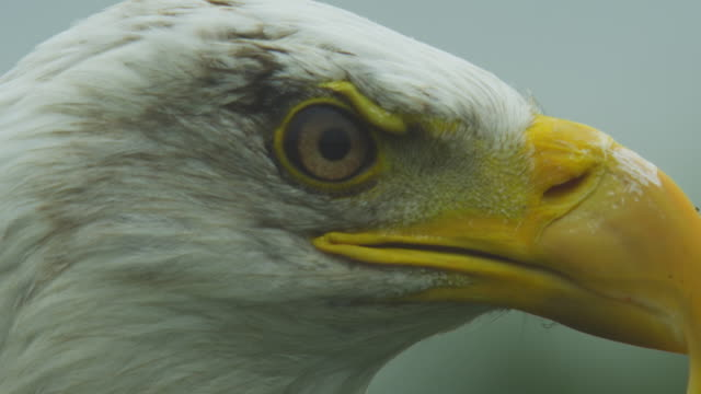 ECU profile head of Bald Eagle