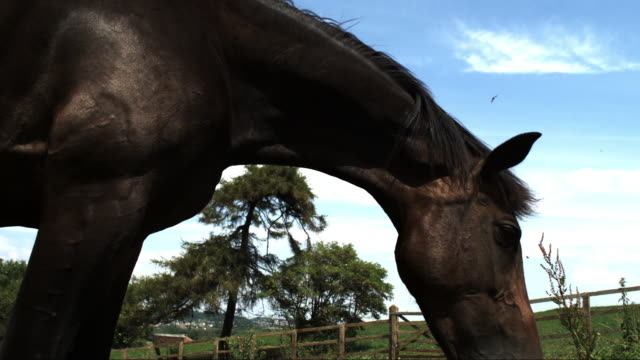 slomo la profile cu horse shaking off flies and grazing in field - zoology stock videos & royalty-free footage