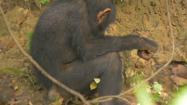 profile cu juvenile chimpanzee fishing for termites with a twig - twig stock videos & royalty-free footage