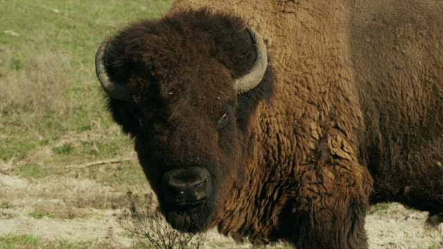 vídeos de stock e filmes b-roll de profile, large american bison or buffalo turns head and looks at camera. - bisonte americano
