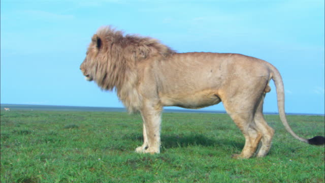Profile male African lion urinates and wipes hind paws then walks over to other males