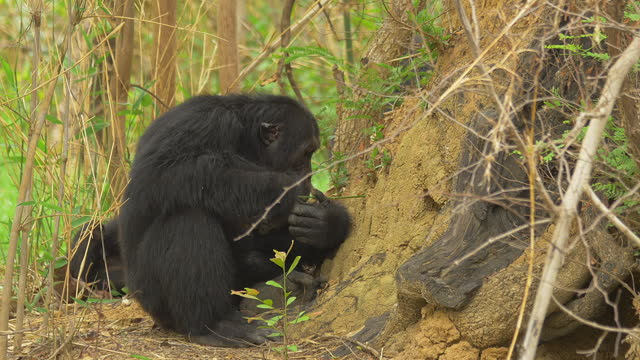 profile ms male chimpanzee fishing for termites with a twig - twig stock videos & royalty-free footage