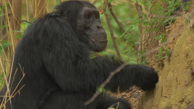 profile cu male chimpanzee fishing for termites with a twig - twig stock videos & royalty-free footage
