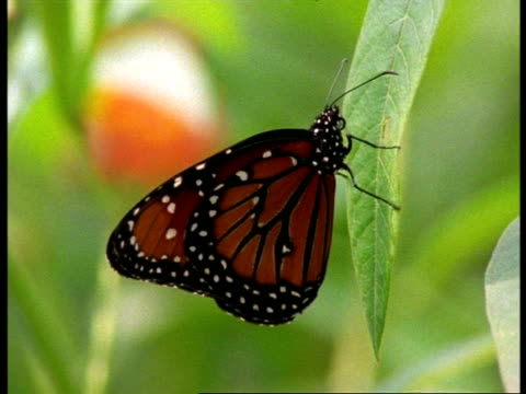 cu profile of florida queen butterfly (danaus gilippus) on leaf, usa - animal colour stock videos & royalty-free footage