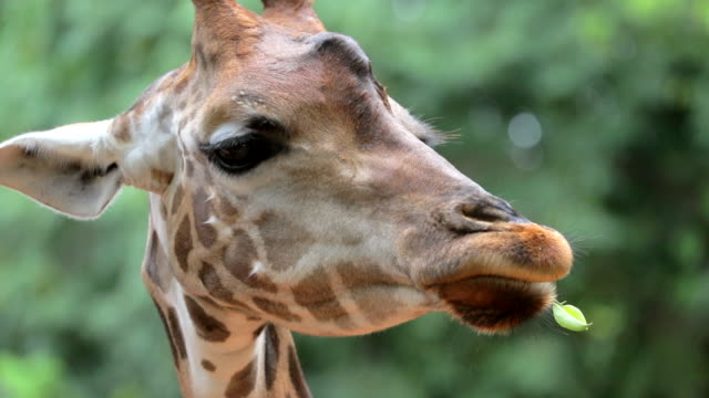 profile of giraffe head chewing , slow motion - giraffe stock videos and b-roll footage