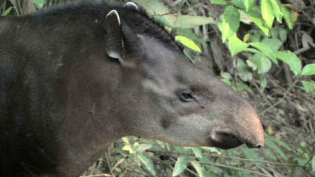 CU profile of tapir/ Manu National Park, Peru