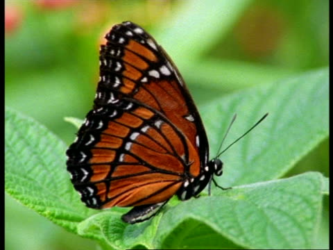 cu profile of viceroy butterfly (limenitis archippus) on leaf, usa - animal colour stock videos & royalty-free footage