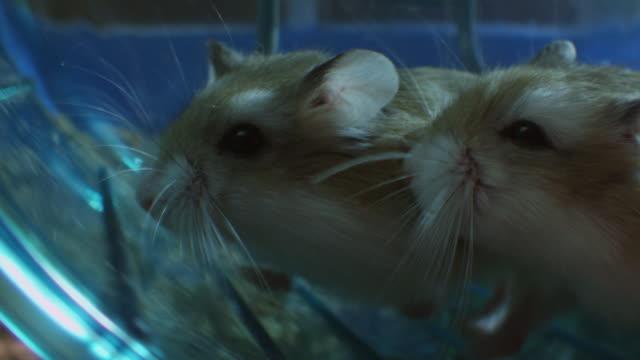 vídeos y material grabado en eventos de stock de slomo profile cu pet dwarf hamster running in wheel in cage very close to camera joined by second hamster - vibrisas