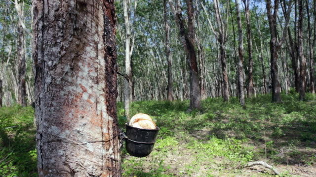 MS Profile shot of rubber tapping of latex being collected on plantation