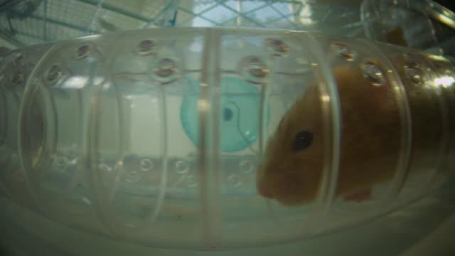 ms profile track pet syrian hamster running through tube in plastic cage - tierisches verhalten stock-videos und b-roll-filmmaterial