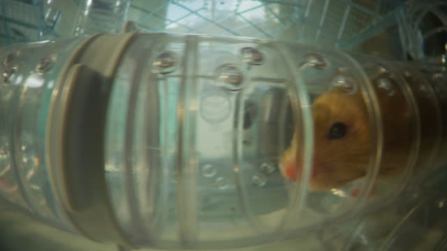 ms profile track pet syrian hamster running through tube in plastic cage - cute stock videos & royalty-free footage