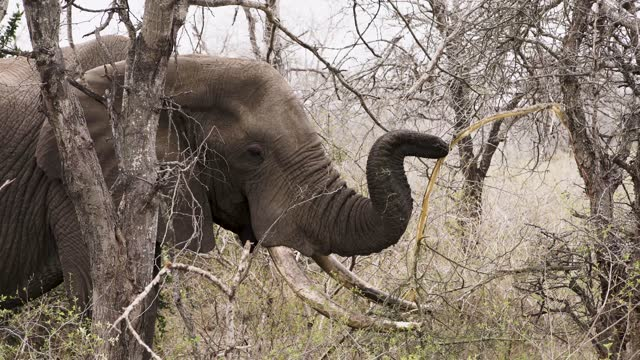 profile view of an african elephant with long tusks eating branches with the help of his trunk in the middle of the bush. - limb body part stock videos & royalty-free footage