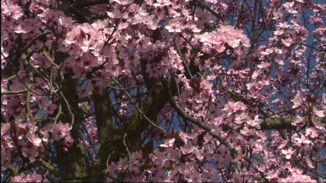 a profusion of pink blossoms bloom on a crab apple tree. - ragged point stock videos and b-roll footage