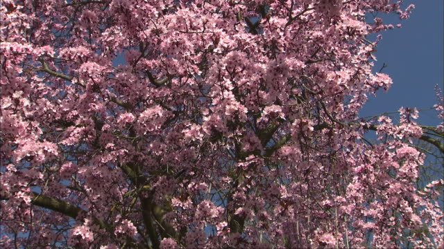 a profusion of pink blossoms bloom on crab apple trees. - ragged point stock videos and b-roll footage