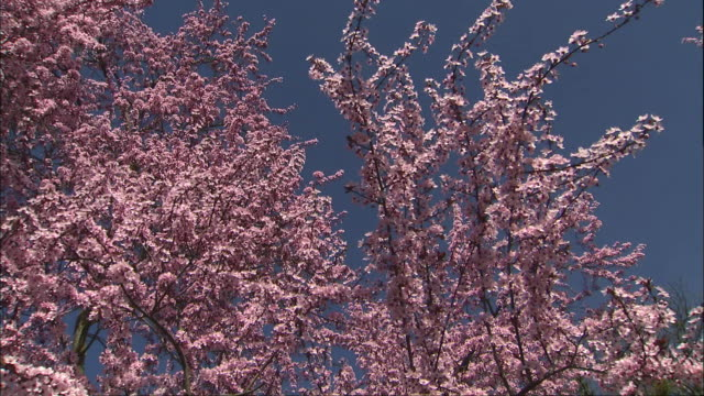 a profusion of pink flowers blossom on crab apple trees. - ragged point stock videos and b-roll footage