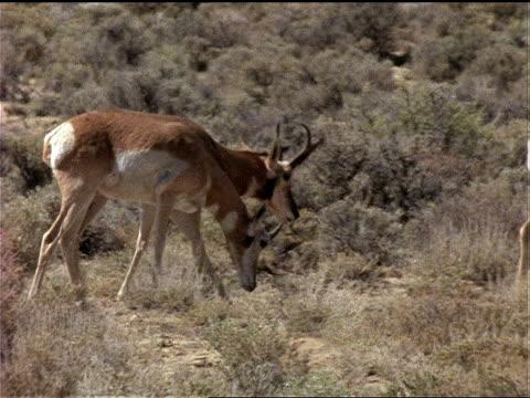 pronghorn antelope forage on scrub brush. - プロングホーン点の映像素材/bロール