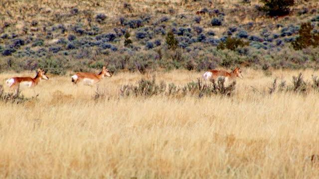 vídeos y material grabado en eventos de stock de pronghorn antelope herd winter migration 1 painted hills oregon 39 - monumento nacional
