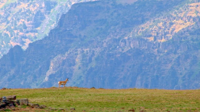 pronghorn antelope on edge of cliff 1 summit steens mountain near malhuer wildlife refuge 21 - pronghorn stock videos & royalty-free footage