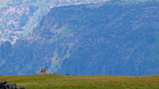 Pronghorn antelope on edge of cliff 2 Summit Steens Mountain Near Malhuer Wildlife Refuge 22