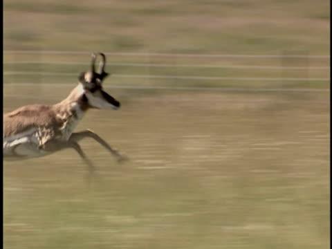 ms, ts, pronghorn antelope (antilocapra americana) running through grassland, alberta, canada - プロングホーン点の映像素材/bロール