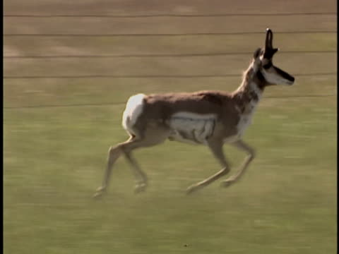 ms, ts, pronghorn antelope (antilocapra americana) running through grassland, alberta, canada - pronghorn stock videos & royalty-free footage