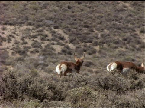 pronghorn antelope travel through sparse vegetation on a prairie. - プロングホーン点の映像素材/bロール