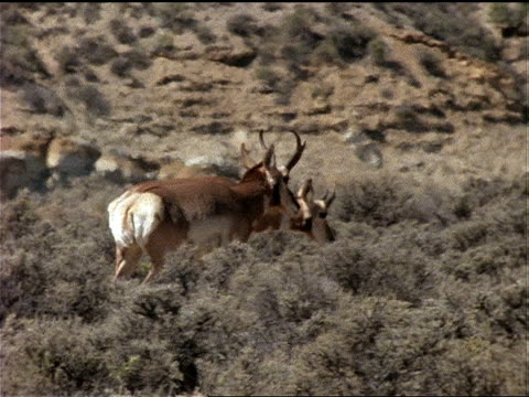 pronghorn antelope walk through scrub brush. - grasen stock-videos und b-roll-filmmaterial