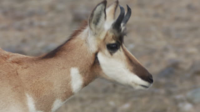 a pronghorn antelope walks across a grassy meadow. - pronghorn stock videos & royalty-free footage