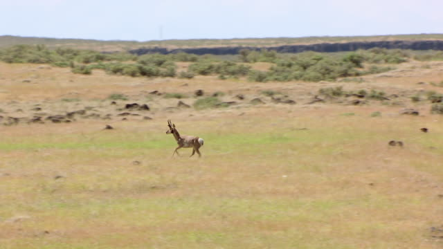 cu aerial zi pronghorn antelopes running along oregon trail in idaho desert / idaho, united states - プロングホーン点の映像素材/bロール
