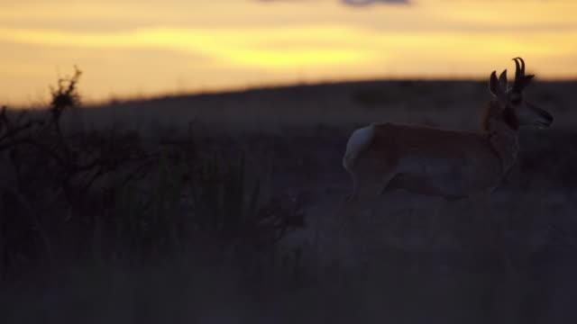 pronghorn at sunset - プロングホーン点の映像素材/bロール