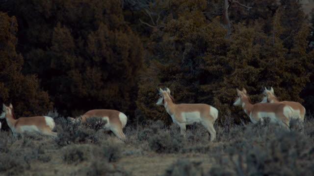 pronghorn bucks standing in sage brush at dawn. medium close-up shot. color graded and raw file. - セージブラッシュ点の映像素材/bロール