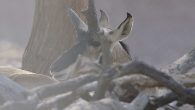 pronghorn chewing while lying down - insect stock videos & royalty-free footage