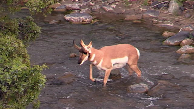 Pronghorn crosses river, Yellowstone National Park, Wyoming