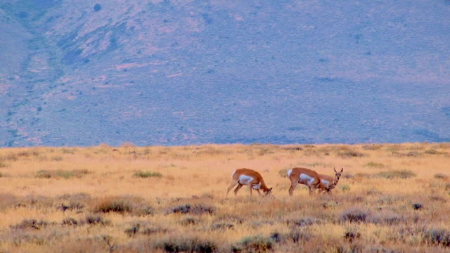 Pronghorn family baby fawn and mother eating Hart Mountain National Antelope Refuge Oregon 149
