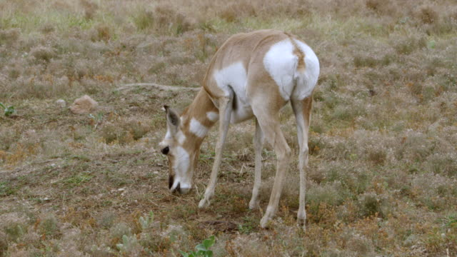 ms pronghorn grazing on rolling prairies / custer state park, wind cave national park, south dakota, united states - custer state park stock videos & royalty-free footage