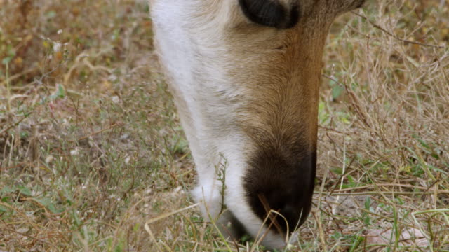 cu pan pronghorn grazing on rolling prairies / custer state park, wind cave national park, south dakota, united states - custer staatspark stock-videos und b-roll-filmmaterial