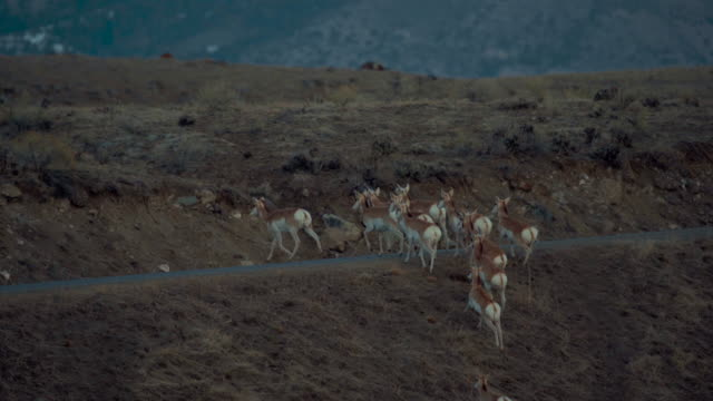 Pronghorn herd running through sage brush at dawn cross road. Medium Close-up shot. Color Graded and RAW file.
