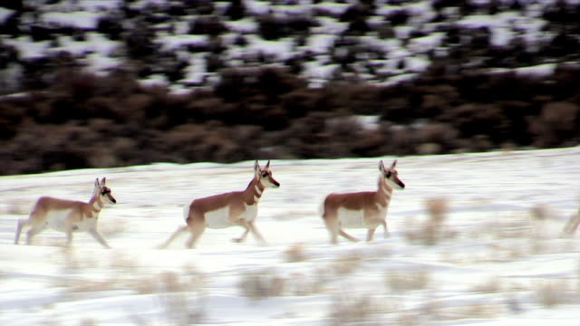 Pronghorn, herd runs, Yellowstone National Park in winter