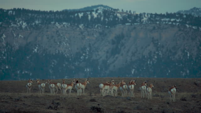 pronghorn herd standing on hilltop at dawn. wide shot. color graded and raw file. - プロングホーン点の映像素材/bロール