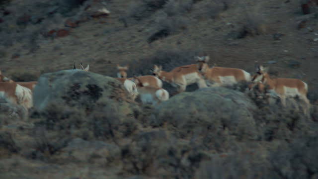 Pronghorn herd walking and jumping through sage brush at dawn. Medium Close-up shot. Color Graded and RAW file.