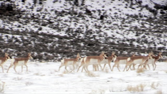 Pronghorn, herd walks, Yellowstone National Park in winter