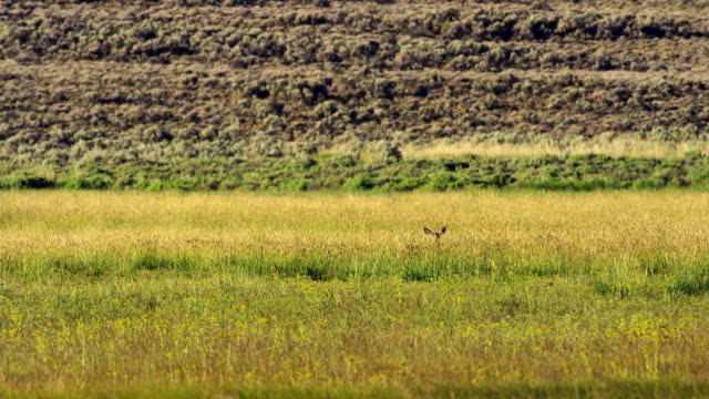 pronghorn in grassy meadow - プロングホーン点の映像素材/bロール