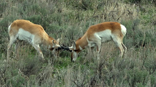 Pronghorn males in dominance fight, Yellowstone National Park, Wyoming