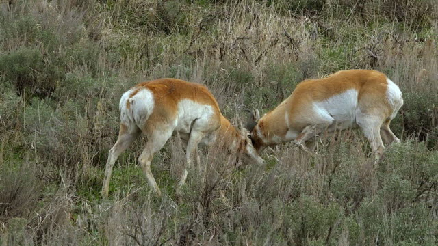 pronghorn males in dominance fight, yellowstone national park, wyoming - プロングホーン点の映像素材/bロール