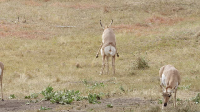 MS PAN Pronghorn mating at national park / Yellowstone National Park, Wyoming, United States
