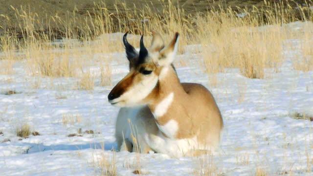 pronghorn, ram, lying down chewing cud, yellowstone national park in winter - プロングホーン点の映像素材/bロール
